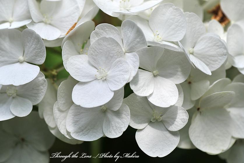 アジサイ(ホワイトダイアモンド)2