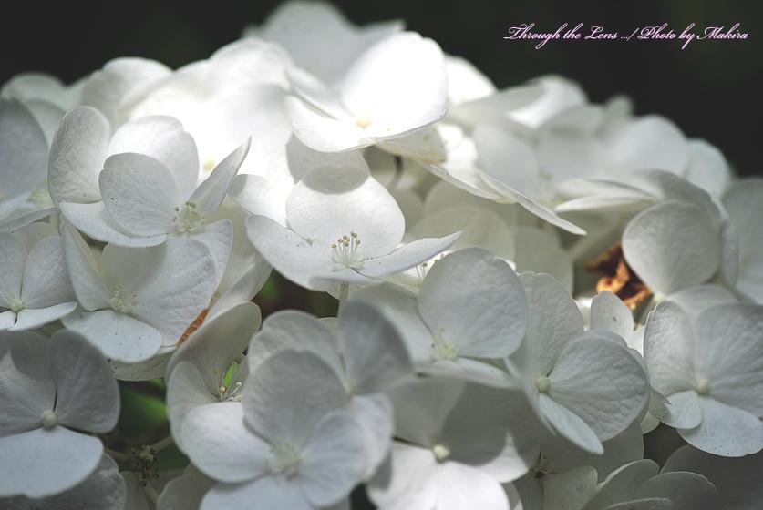 アジサイ(ホワイトダイアモンド)1