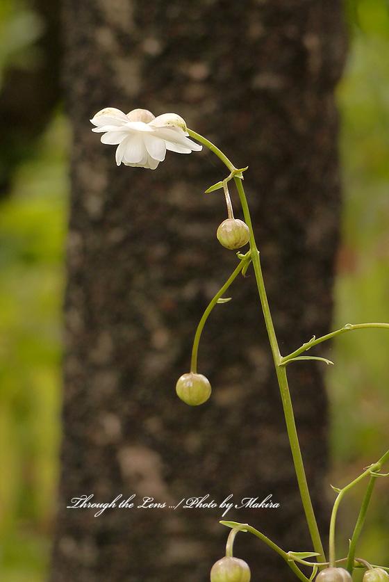 白花レンゲショウマL2