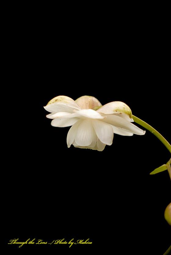 白花レンゲショウマL1