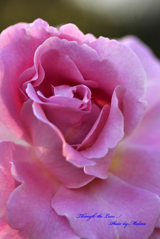 ピンク・フレンチ・レース Pink Frenchi Lace1 日