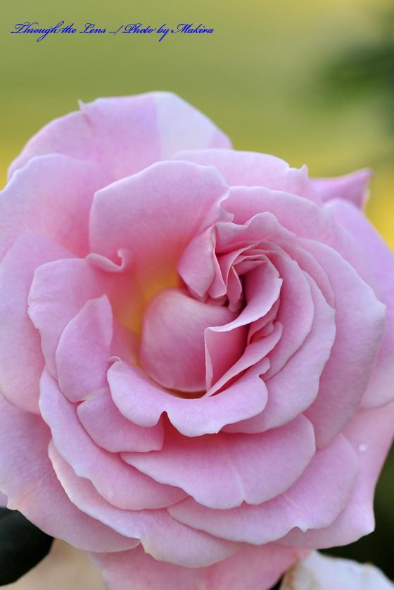 ピンク・フレンチ・レース Pink Frenchi Lace2 日