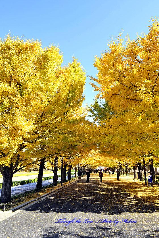 カナール銀杏並木2