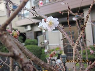 四季咲きの桜1