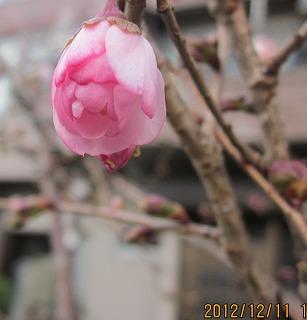 四季咲きの桜3