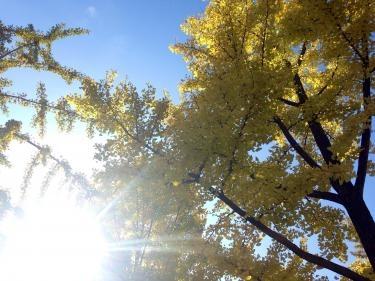 ひんやりする風に揺れる銀杏の葉。日差しが温かく気持ちいいです^^