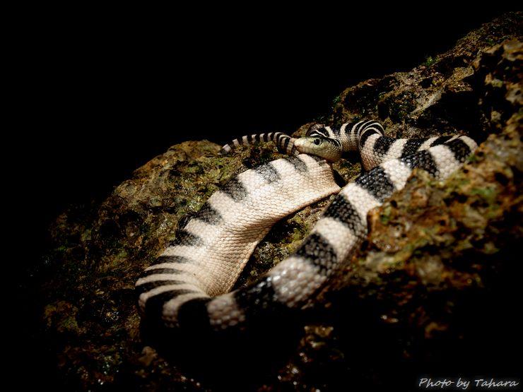 クロボシウミヘビ