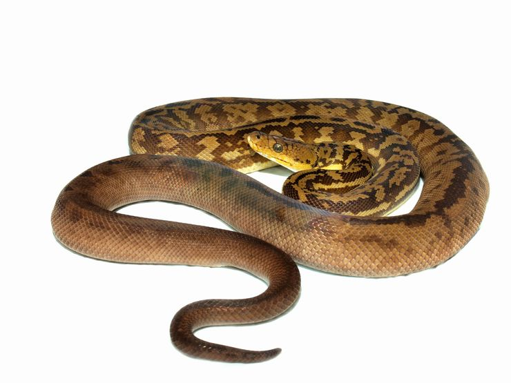 Python timoriensis