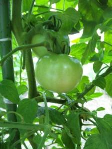 トマトの成長2