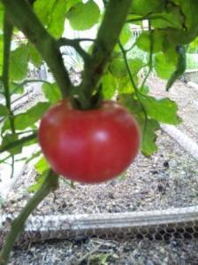 トマト(赤)
