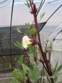 H25.11.7白花ローゼル(oki)の花@IMG_2820
