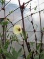 H25.11.7白花ローゼル(oki)の花@IMG_2827