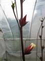 H25.11.7白花ローゼル(oki)の花蕾@IMG_2811