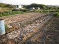 H25.11.8夏野菜撤去・堆肥石灰撒布後@IMG_2847