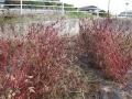 H25.11.18ピンク花ローゼル収穫終了@IMG_0020