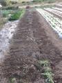 H25.11.26サツマイモ収穫③完了(68P)@IMG_0167