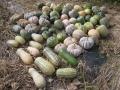 H25.11.30島かぼちゃ収穫(62P)@IMG_0200