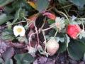 H25.12.2大実イチゴの花と実@IMG_0229
