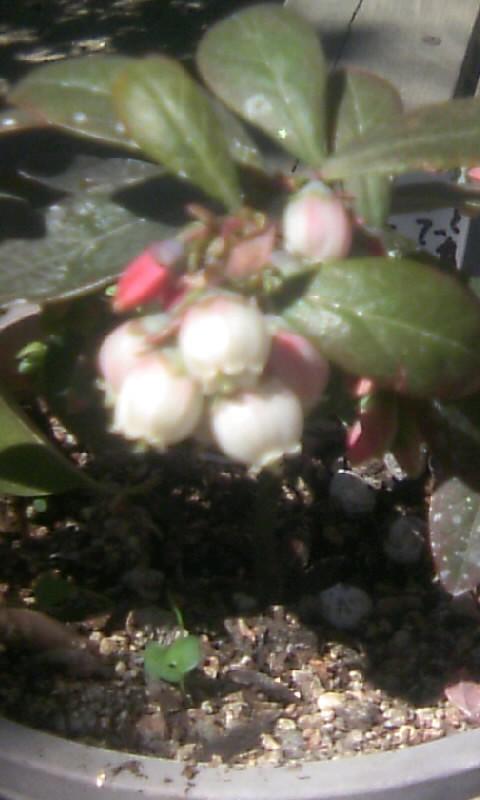 110404_102250ブルーベリーの花