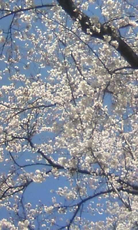 110405_120534新境川桜