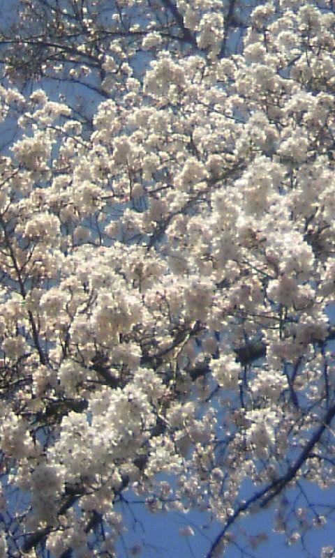 110405_120643新境川の桜