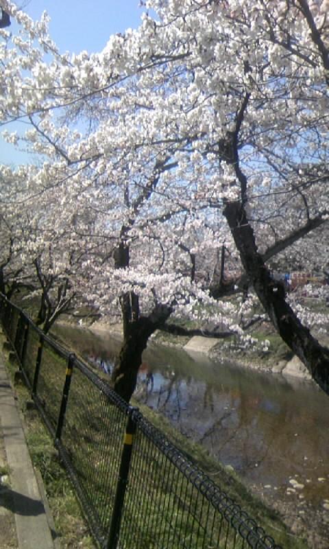 110405_121232新境川の桜