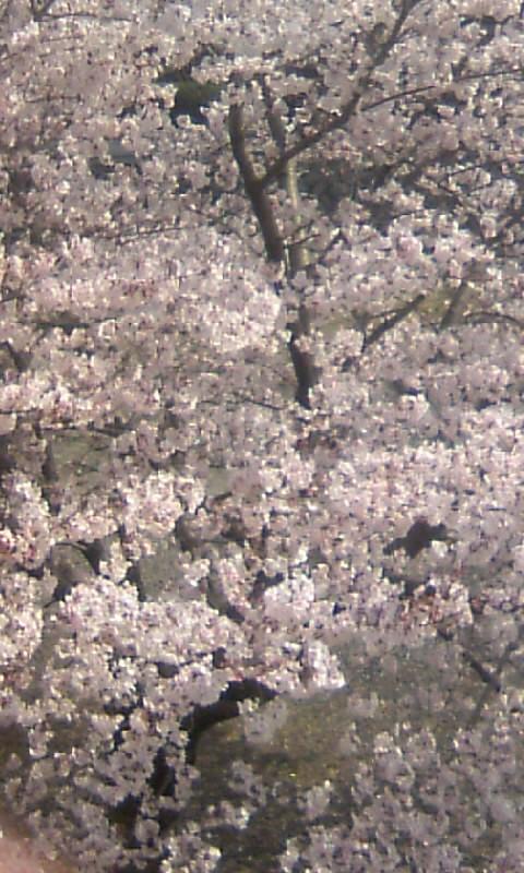 110409_143147城山公園の桜
