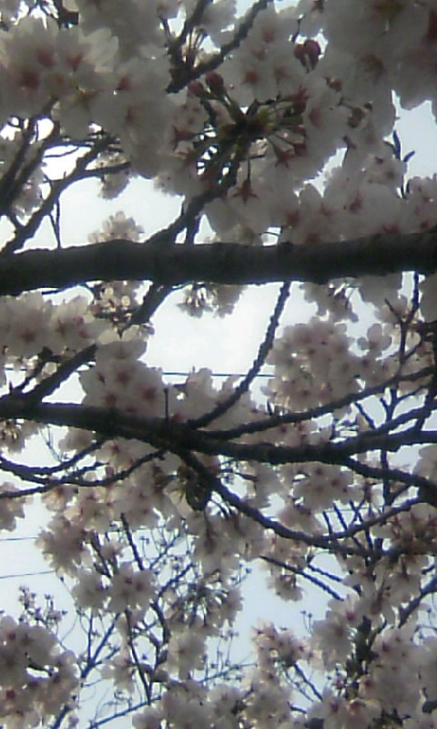 110409_143430城山公園の桜