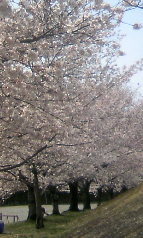 110409_143002城山公園の桜