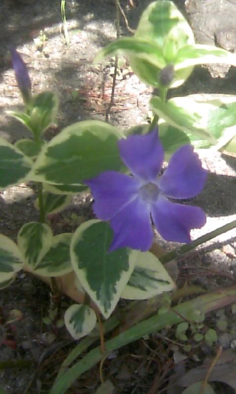 110414_094957青い花?