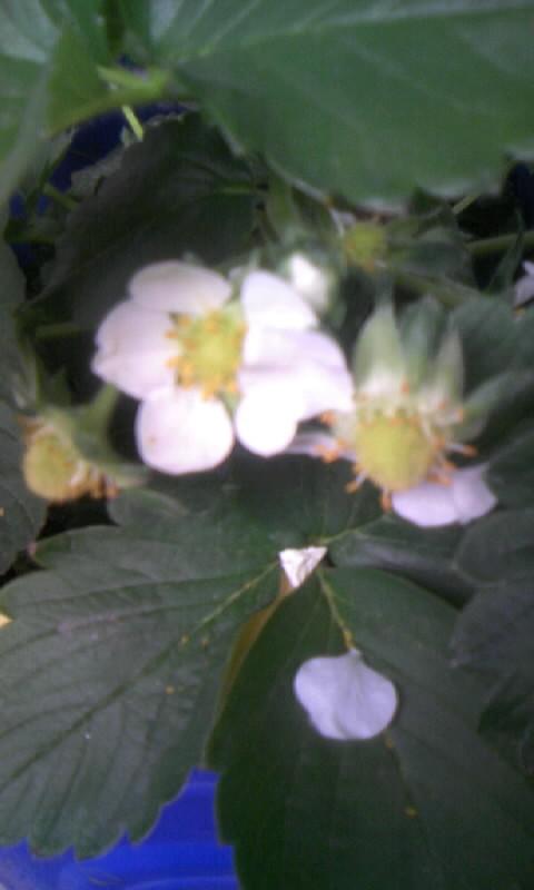 110415_140234苺の花