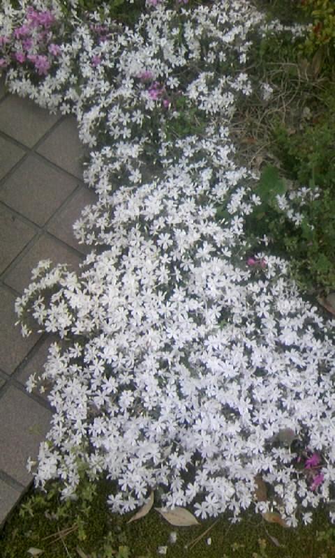 110416_120149芝桜