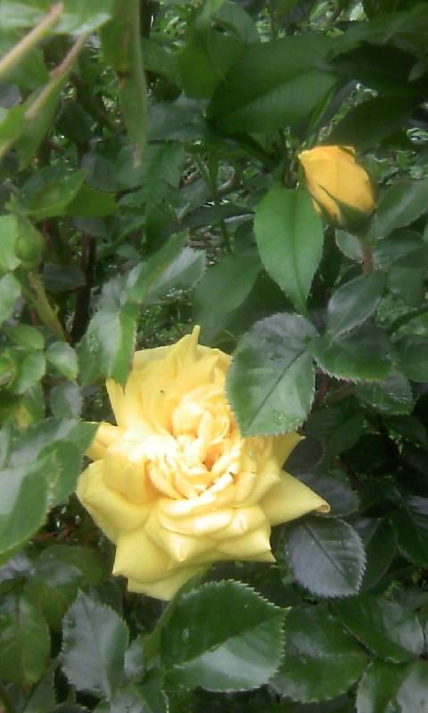 110501_102618黄色い薔薇