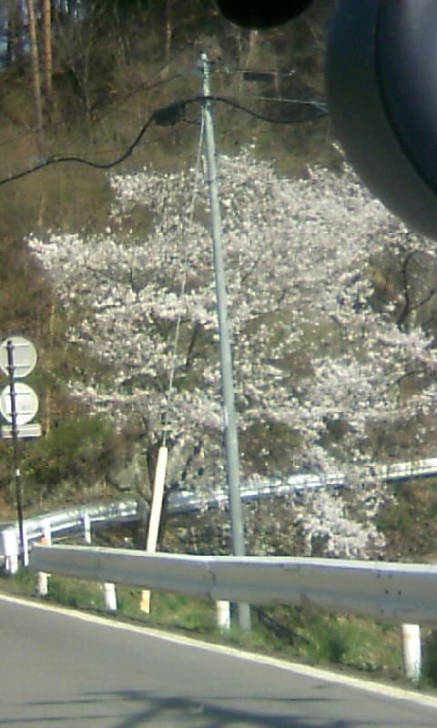 110505_150519山荘へ 桜