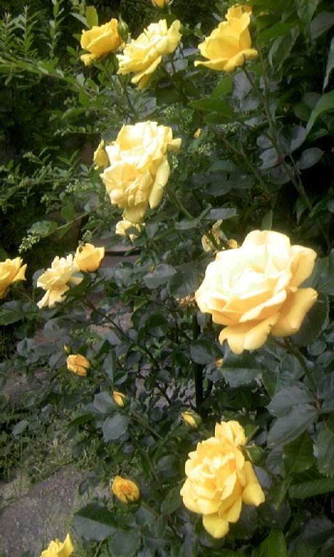 110509_072940黄色い薔薇