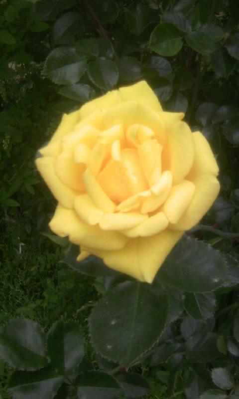 110509_073027黄色い薔薇
