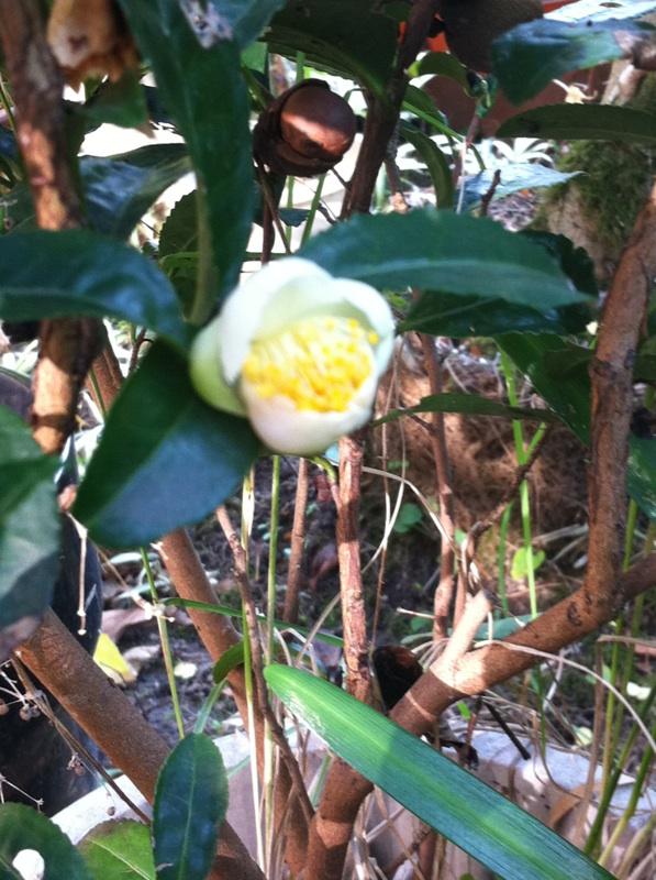 IMG_3370お茶の花
