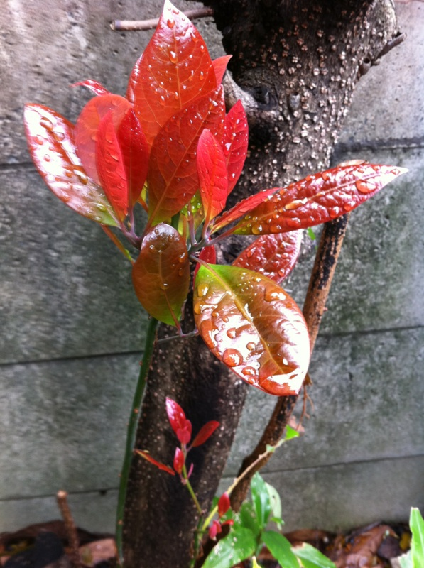 IMG_5317赤い芽