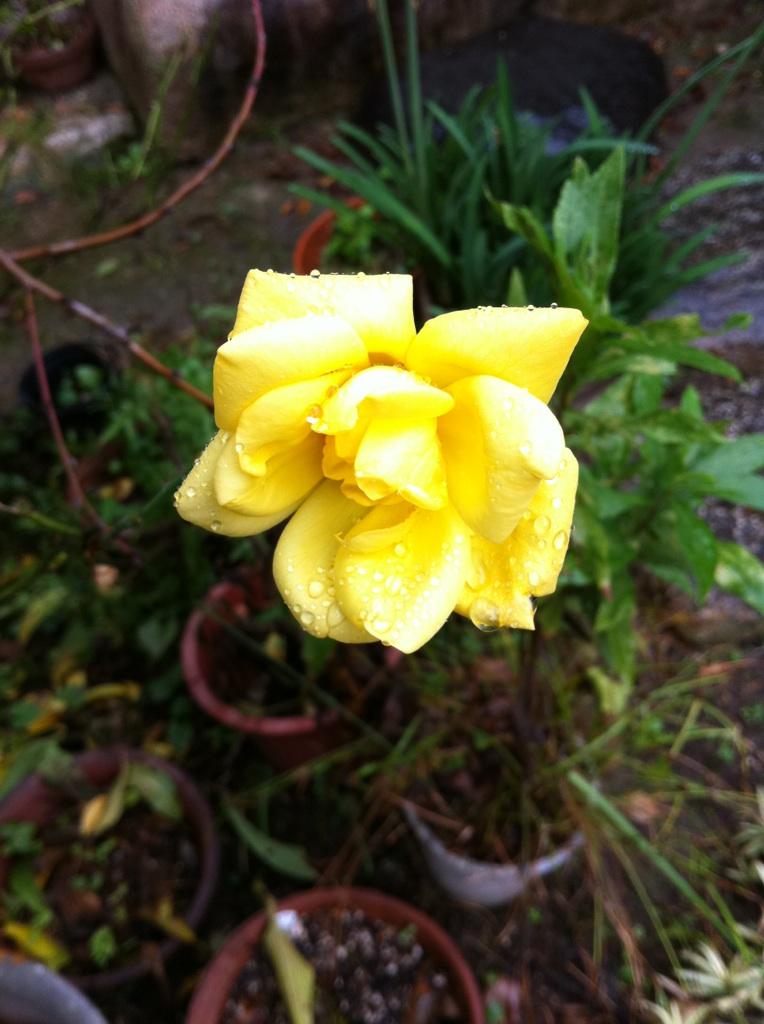 IMG_3298薔薇