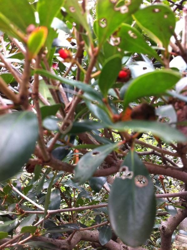 IMG_8493モッコクの紅い実