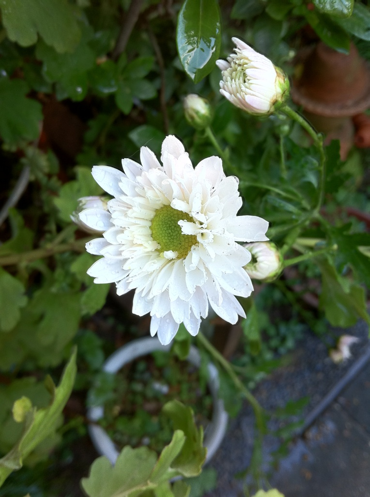 IMG_7145白い小菊