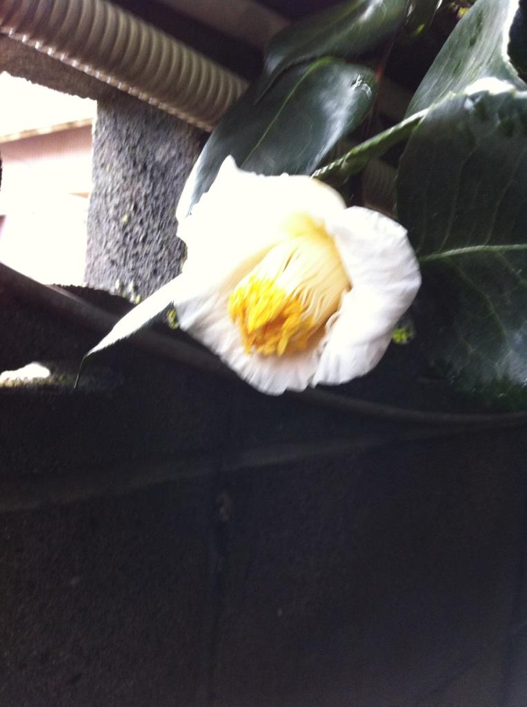 IMG_7742白玉椿です