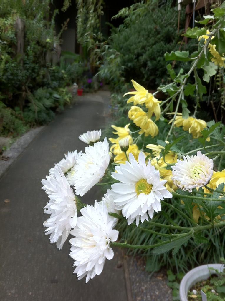 IMG_9681菊