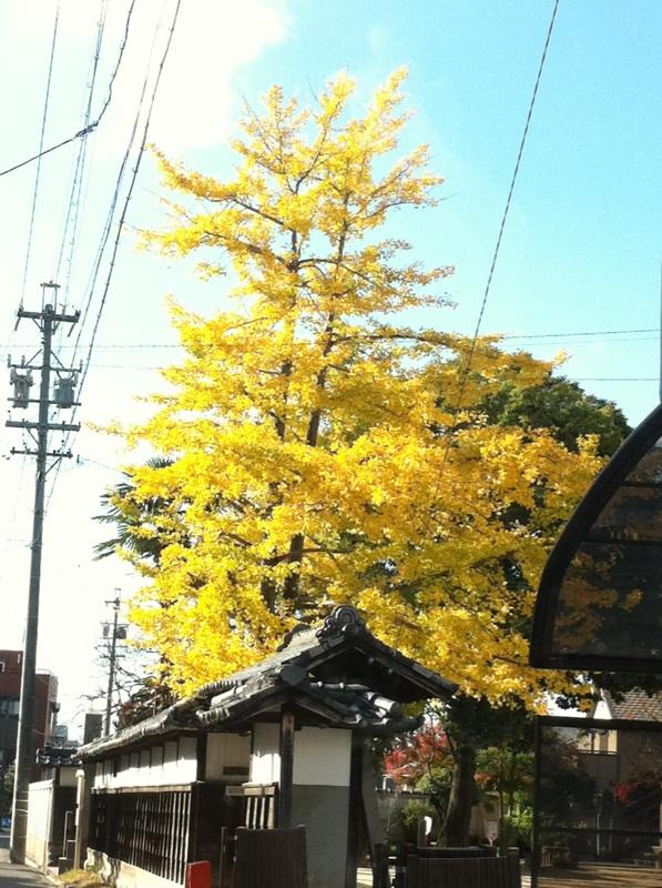 IMG_4423銀杏