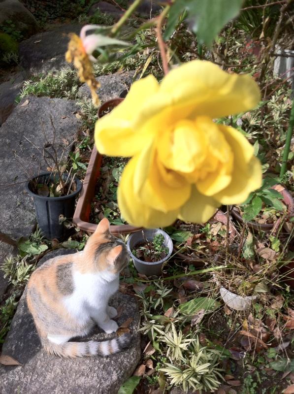 IMG_8372黄色いバラ