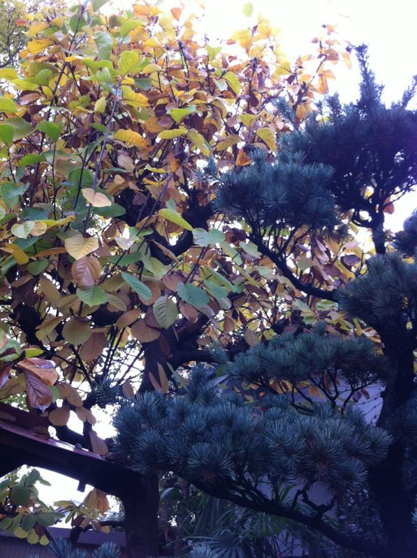 IMG_9281五葉松とハクモクレンの黄葉