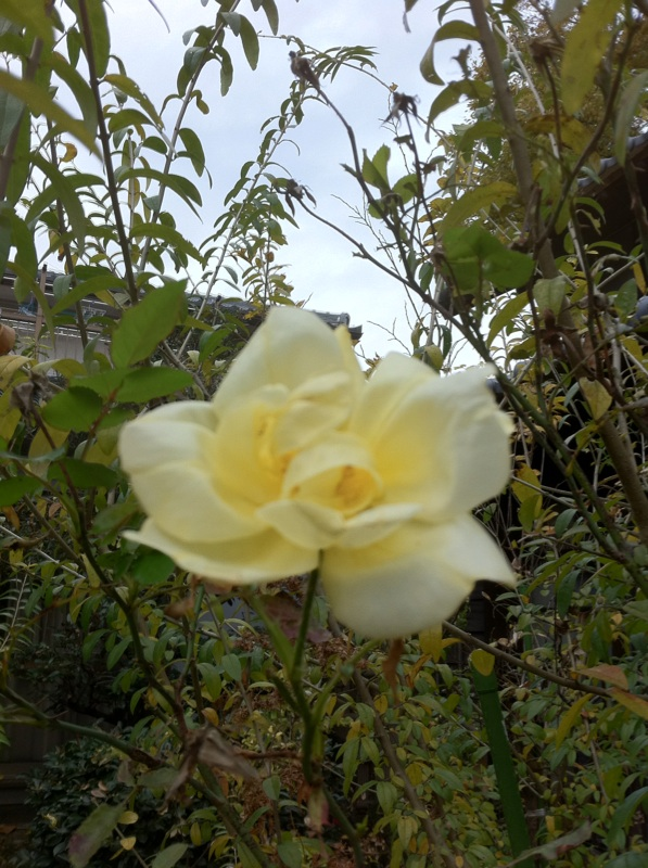 IMG_4461薔薇