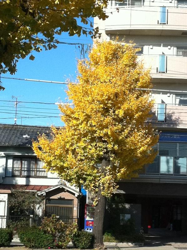 IMG_7761銀杏の黄葉