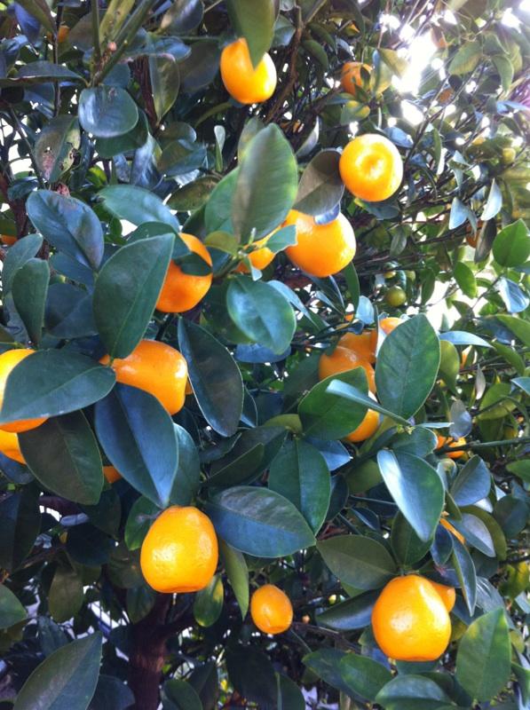 IMG_1225実家柑橘