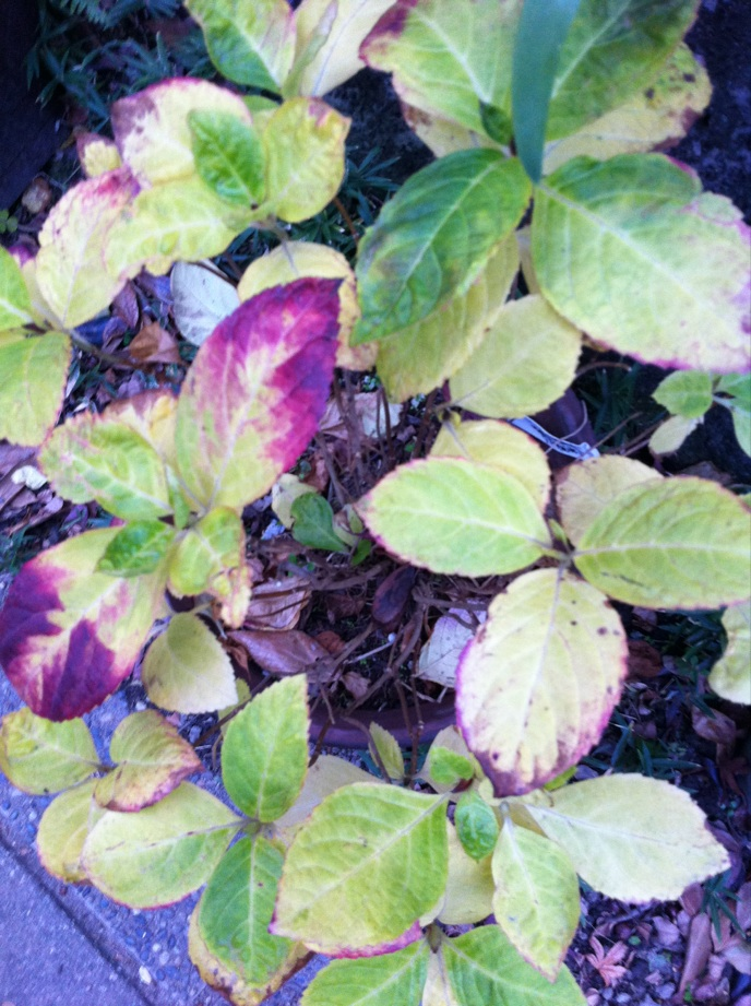 IMG_1888アジサイの葉
